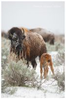 Bison Mother And Calf by Nate-Zeman
