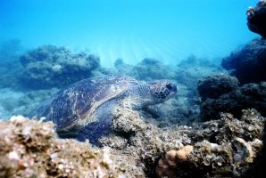 Green Sea Turtle by taujp