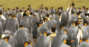 King Penguins 7438890 by StockProject1