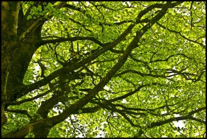 Beech Canopy by sags
