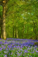 Bluebells 1 by andy1349