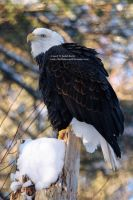 Bald Eagle 5 by 8TwilightAngel8