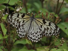 Paper Kite Butterfly by Jeff59