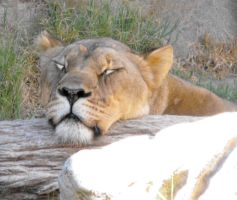 The Lion Sleeps Tonight by Photos-By-Michelle