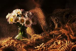 Daisies photography by rejmann