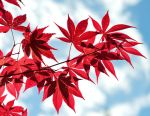 Red leaves by AxhellWood