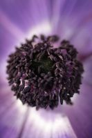 heart anemone by marob0501