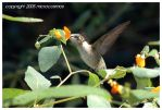Ruby-throated hummingbird by microcosmos
