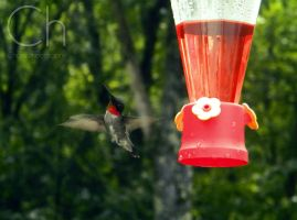 Hummingbird 3 by Champineography