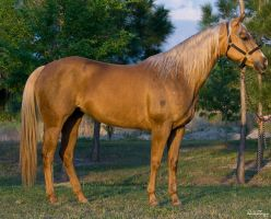 Palomino Mare by Deirdre-T