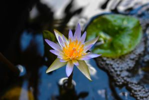 Water Lilly Bloom by winterface