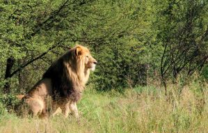 The Lion of Judah by A2J