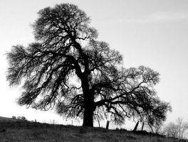 Oak Tree by Geotripper