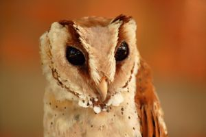 owl, ugly or pretty? by esee