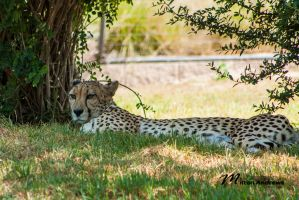Lazy Cheetah by Milton-Andrews