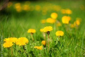 Dandelion in f2.0 by Vcent