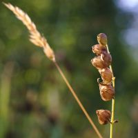 Yellow-rattle by perost