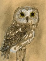 Saw-whet Owl by Cuthillius