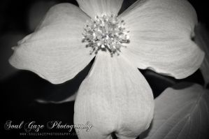 Dogwood IR by GothicAmethyst