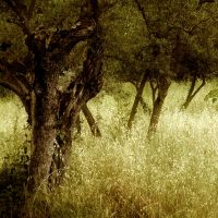 Olive Grove in Fiesole by nathanieljc