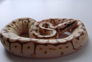 Baby Ball Python 5 by FearBeforeValor