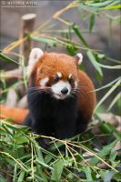 Red Panda - 01 by shiroang