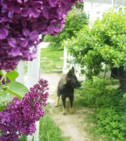 Wolves and Lilacs 1 by Shockbox