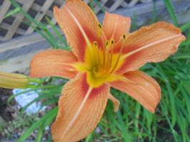 Day Lily by Caitlynn96