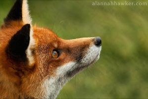 Fox 02 by Alannah-Hawker