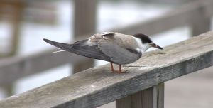 Young Tern by SlateGray