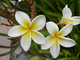 Frangipani 2 by Confussed-Stock