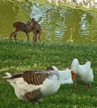 Geese and Fawns by kellylynn