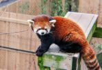 Adorable Red Panda by EveVictus
