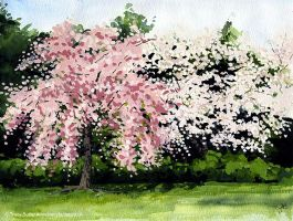 Cherry Blossoms by tracybutlerart