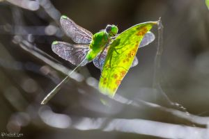 Green dragonfly in sun by LordMajestros
