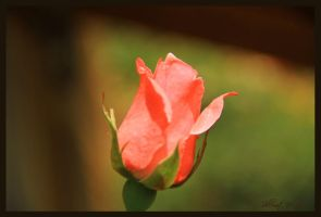 A rose for by ShlomitMessica