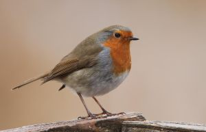 I'm not fat just cuddly - European Robin by Jamie-MacArthur