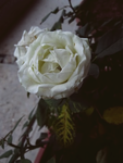 White Rose by Andrew-90