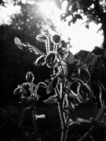 Borage by Lizbeta