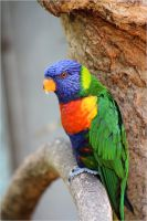 Rainbow Lorikeet 02 by Mayini