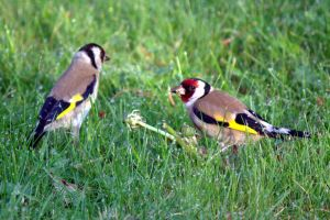 Goldfinches - dinner for two by Steve-FraserUK
