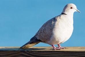 Eurasian Collared Dove by Fail-Avenger