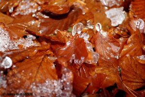 Frozen Leaves by friedapi