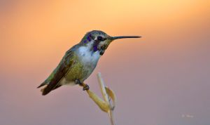 Morning Hummingbird by Grouper