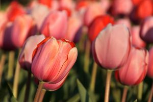 tender tulips by ariseandrejoice