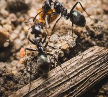 Foraging ants by Wings-of-Light