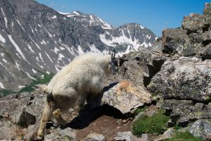 Quandary Mountain Goat by krakpics