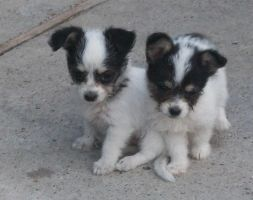 my hizumi and sis pups by sephiroth72603