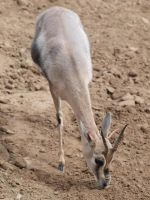 Speke's Gazelle by photographyflower