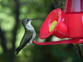 hummingbird day today by Lou-in-Canada